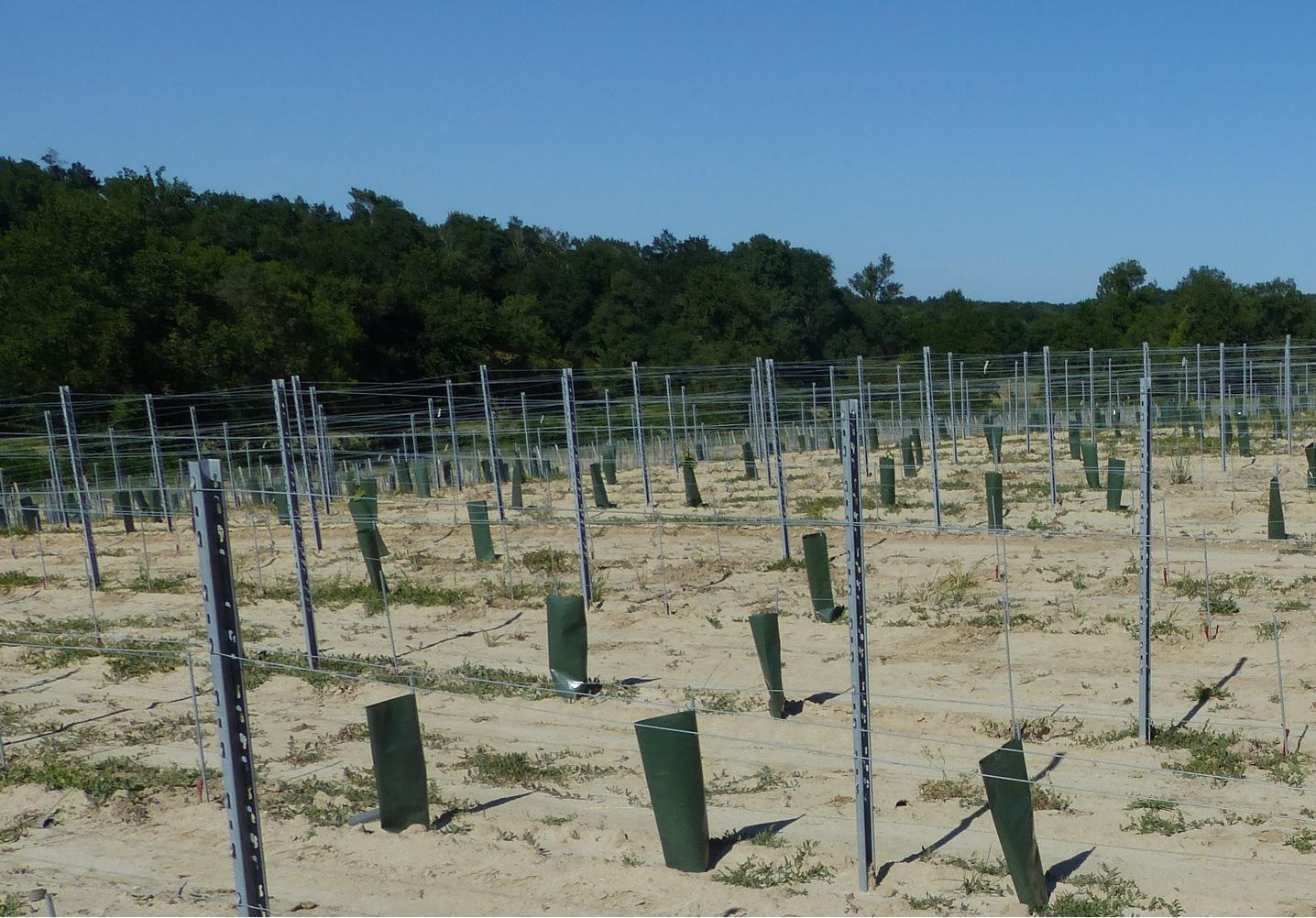 Parcelle de jeunes plantations de vignes touchées par le gel d'avril