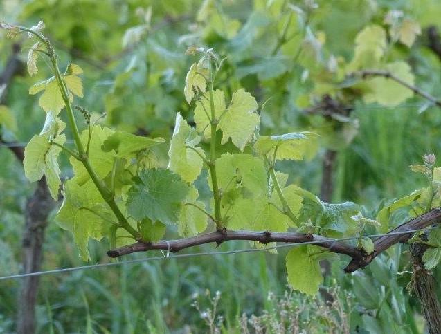 vigne-temperature-basse